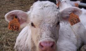 Tracabilité vache